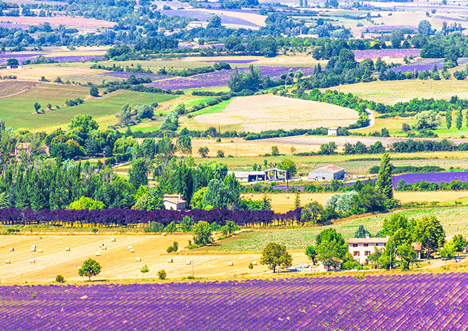 Fields of lavender and famrhouses in Provence