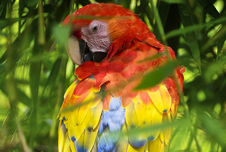 Scarlet Macaw in the Costa Rican Jungle