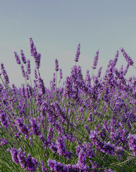 Provence group incentive - field of lavender
